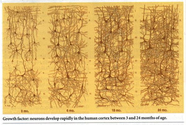 생후 3개월에서 24개월까지 뇌신경세포의 성장모습